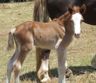 catrins_filly_foal_1day_400